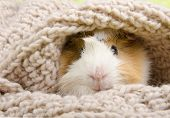 Funny Cute Guinea Pig Hiding In A Knitted Woolen Scarf (selective Focus On The Guinea Pig Nose) poster