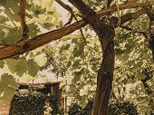 Grape Vine, Grape Leaves, Grapes In The Spring In A City Yard On A Sunny Day. poster