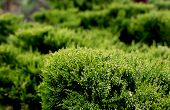 Cossack Juniper ( Lat. Juniperus Sabina). Shearing Of The Juniper With Gardening Scissors, Soft Focu poster