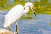 The Great Egret/ Great White Egret/ White Heron/ Great White Heron/ Large Egret/ Common Egret Is An  poster