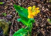 Indian Shot Plant In Bloom, Tropical Plant Specie From Asia, America And Africa poster