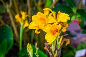 Beautiful Yellow Flowers Of A Indian Shot Plant, Tropical Plant Specie From Asia, America And Africa poster