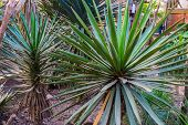 Spanish Dagger, Also Known As Faxon Yucca, Tropical Plant Specie From The Chihuahuan Desert Of Mexic poster