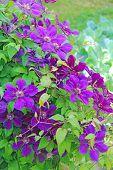 Beautiful Flowers Of Blossoming Violet Clematis In Garden. Big Bush Of Clematis Growing In Garden. B poster