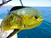 stock photo of mahi  - Dolphin Fish after being landed by sport fisherman - JPG
