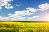 Bright yellow canola field and and fluffy white clouds on a sunny day. Scenic rural area in springti poster
