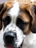 picture of droopy  - Pure bred Saint Bernard looking sad and tired - JPG