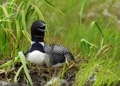 stock photo of loon  - A common loon sits on her nest on a wilderness lake - JPG
