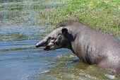 pic of tapir  - Lowland tapir  - JPG