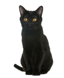 stock photo of american bombay  - Bombay kitten sitting and looking away - JPG
