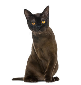 foto of american bombay  - Bombay cat sitting and looking at the camera - JPG