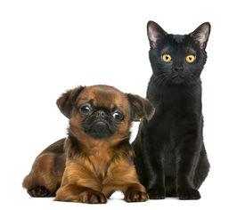 pic of american bombay  - Bombay cat sitting next to Petit Brabancon - JPG