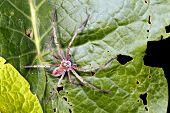 stock photo of wander  - Wandering spider  - JPG