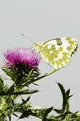Pontia daplidice / bath white butterfly on a pink thistle flower