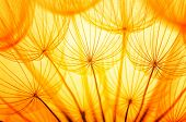 stock photo of dandelion  - Dandelion seed in golden sunlight - JPG