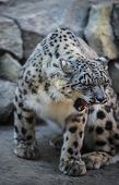 image of panthera uncia  - Beautiful Snow Leopard on a snow covered rocks - JPG