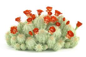 foto of peyote  - Plant bush - JPG