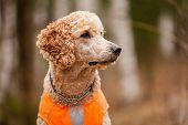 foto of standard poodle  - Standard poodle head close - JPG
