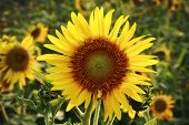 stock photo of sunflower-seed  - in the evening on a big sunflower farm that - JPG