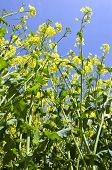 picture of rape-seed  - Image of oil seed rape in flower - JPG