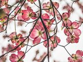 image of dogwood  - Pink Dogwood Blooms during Spring - JPG