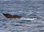 pic of whale-tail  - The tail fin of a Southern Right Whale off the coast of Puerto Madryn - JPG