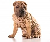 stock photo of shar-pei puppy  - chinese shar pei sitting isolated on white background - JPG