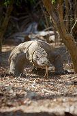 foto of komodo dragon  - Komodo Dragon walking in the wild on Komodo Island - JPG