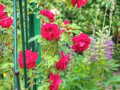 stock photo of climbing roses  - Bright red climbing roses in the summer garden - JPG