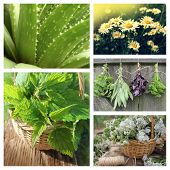 stock photo of nettle  - Collage of herbs  - JPG