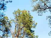 picture of sequoia-trees  - crown of sequoia tree in sunny autumn day  - JPG