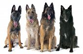 picture of belgian shepherd  - four belgian shepherds in front of white background - JPG