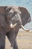 picture of tusks  - Elephant with huge tusks just walking in plane sight over the grasslands of the Ngorongoro Crater in Tanzania - JPG