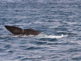 stock photo of whale-tail  - The tail fin of a Southern Right Whale off the coast of Puerto Madryn - JPG