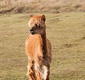 image of alpaca  - Beautiful alpaca  - JPG