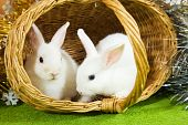 image of tawdry  - Two white rabbits in basket against spangle - JPG