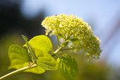pic of hydrangea  - Smooth hydrangea  - JPG