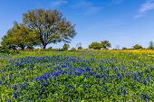 pic of bluebonnets  - A Wide Angle View of a Beautiful Field Blanketed with the Famous Texas Bluebonnet  - JPG