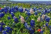 pic of texas star  - A Closeup Wide Angle View of a Beautiful Field Blanketed with the Famous Texas Bluebonnet  - JPG