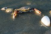 picture of exoskeleton  - Sea crab on sand on a beach - JPG