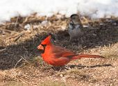 foto of cardinal  - Male Northern Cardinal on the ground eating seeds - JPG