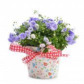 image of flower pots  - blue campanula flowers in flower pot on white - JPG