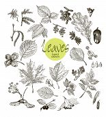 picture of elm  - Collection of highly detailed hand drawn leaves - JPG