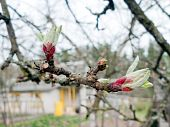 stock photo of japanese magnolia  - Dismissed bud of a flower of an apple - JPG