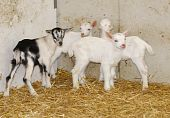 picture of saanen  - four young goat kids on the farm - JPG