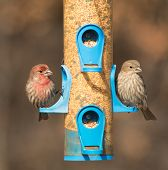 stock photo of songbird  - House Finch - JPG