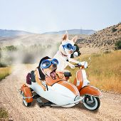 picture of sidecar  - two chihuahuas in a scooter dirt road on a joy ride  - JPG