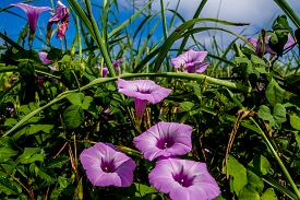 stock photo of ipomoea  - Sharp Bulb Morning Glory (Ipomoea trichocaro), Purple Wildflowers Growing Wild in Texas. ** Note: Soft Focus at 100%, best at smaller sizes - JPG