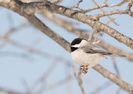 picture of chickadee  - Tiny Carolina Chickadee taking a nap in an Oak tree in winter sun - JPG