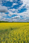 picture of rape  - Yellow Rape field and cloudy blue sky - JPG